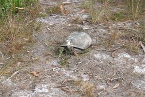 Kismet Gopher Tortoise Relocation
